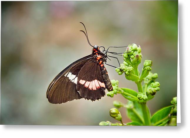 Mealtime Greeting Cards - Butterfly Feeding Greeting Card by Cheryl Schneider