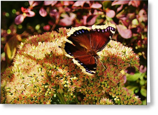 Sunset Greeting Cards Greeting Cards - Butterfly Insects Greeting Card by Carol Toepke
