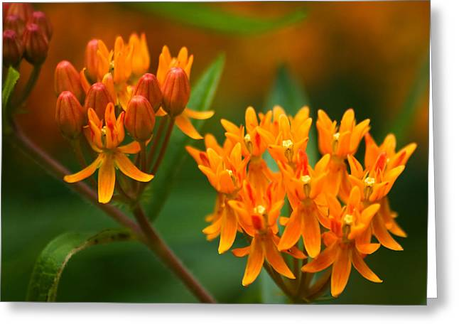 Interior Still Life Greeting Cards - Butterfly Milkweed Greeting Card by Adam Romanowicz