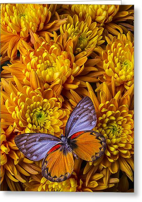 Gorgeous Flowers Greeting Cards - Butterfly mums Greeting Card by Garry Gay