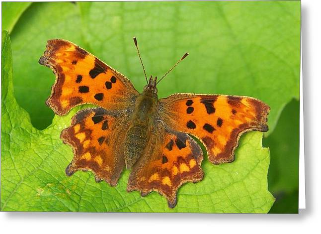 Zoology Greeting Cards - Butterfly on a vine leaf Greeting Card by Rumyana Whitcher