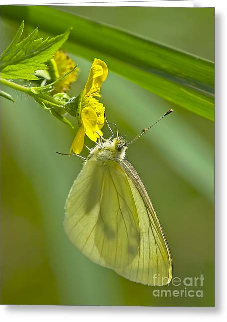 Pieris Rapae Greeting Cards - Butterfly on Buttercup Greeting Card by Sharon  Talson