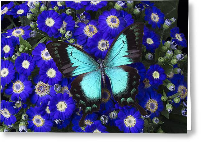 Gorgeous Flowers Greeting Cards - Butterfly On Cineraria Greeting Card by Garry Gay