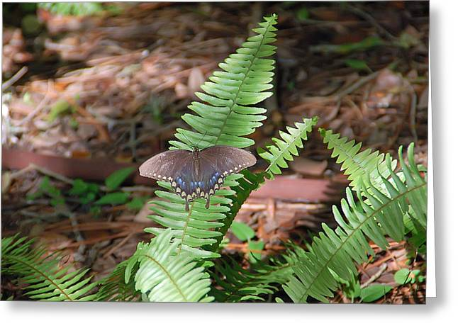 Insects Greeting Cards - Butterfly on Fern Greeting Card by Aimee L Maher Photography and Art