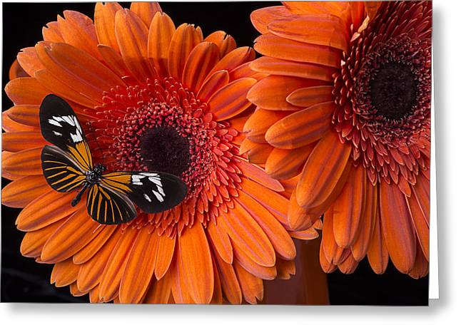 Butterfly on orange mums Greeting Card by Garry Gay