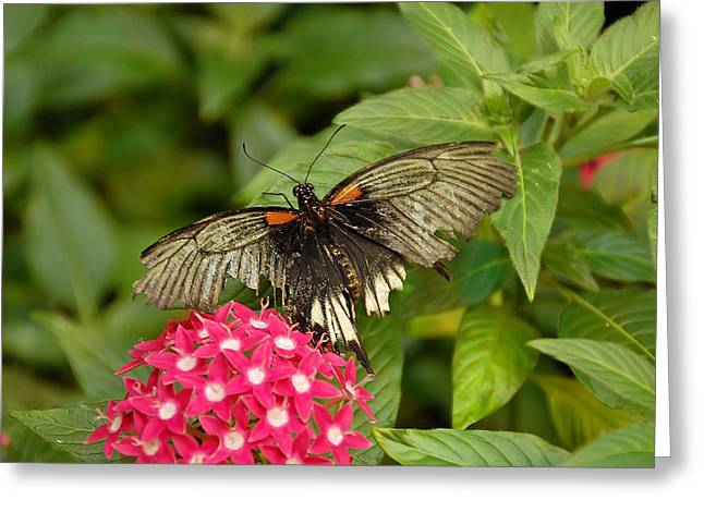 Butterflies Greeting Cards - Butterfly on Pink Greeting Card by Aimee L Maher Photography and Art