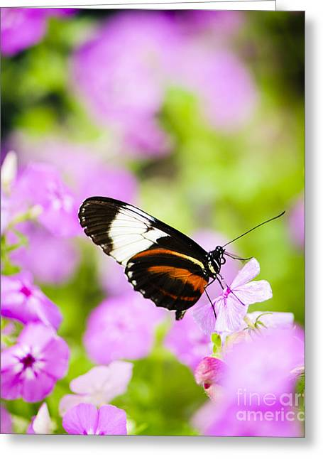 Butterfly Greeting Cards - Butterfly on Pink Flowers Greeting Card by Oscar Gutierrez