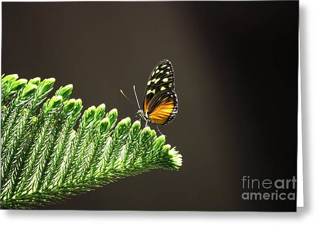 Backlit Prints Greeting Cards - Butterfly on Plant Greeting Card by Nishanth Gopinathan