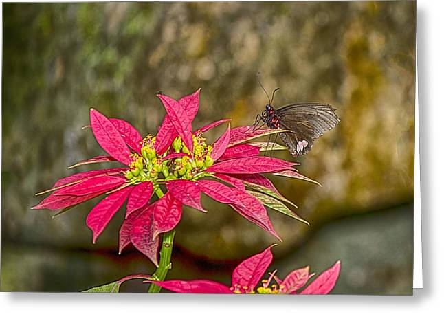 Forida Greeting Cards - Butterfly on Poinsettia Greeting Card by Anne Rodkin