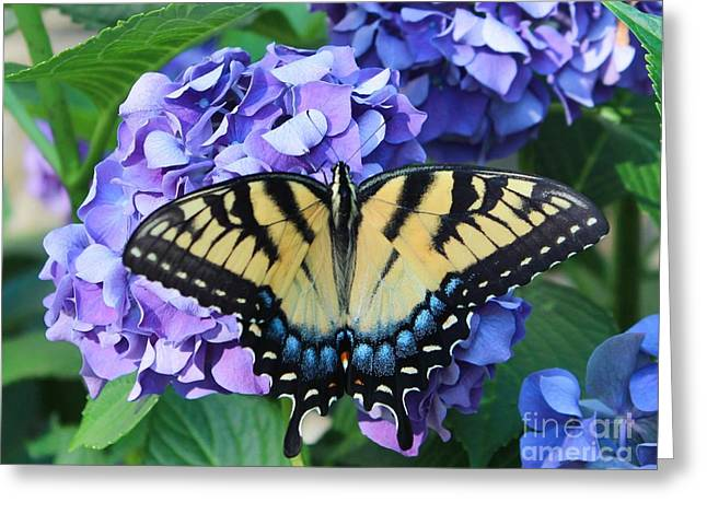 Sit-ins Greeting Cards - Butterfly on Purple Hydrangea Greeting Card by Kathleen Garman