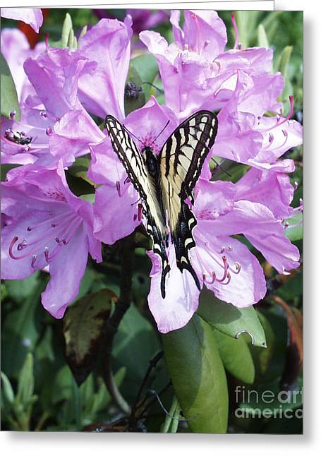 Photography By Govan. Vertical Format Greeting Cards - Butterfly on Rhododendron          Greeting Card by Andrew Govan Dantzler