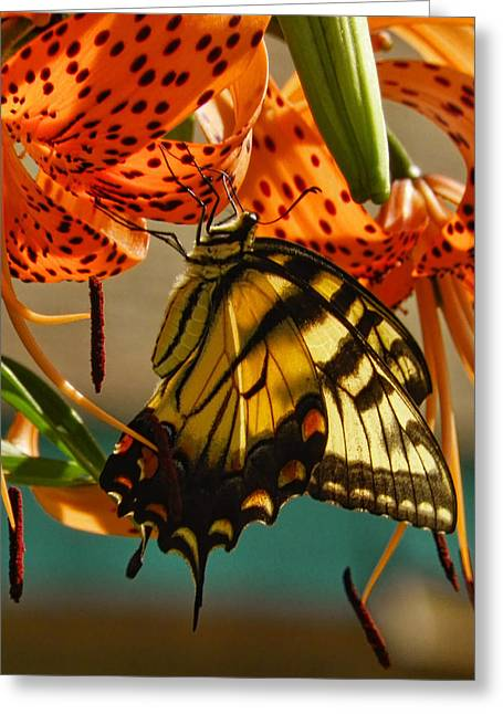 Pamela Phelps Greeting Cards - Butterfly on Turks Cap Lily Greeting Card by Pamela Phelps