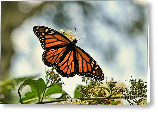 Buterfly Greeting Cards - Butterfly - Open Wings Greeting Card by Paul Ward
