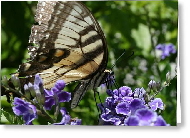 Butterfly On Lavender Greeting Cards - Butterfly Greeting Card by P Driggers