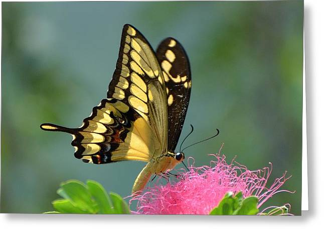 Papilio Thoas Greeting Cards - Butterfly Papilio thoas nealces Greeting Card by Michael Lilley