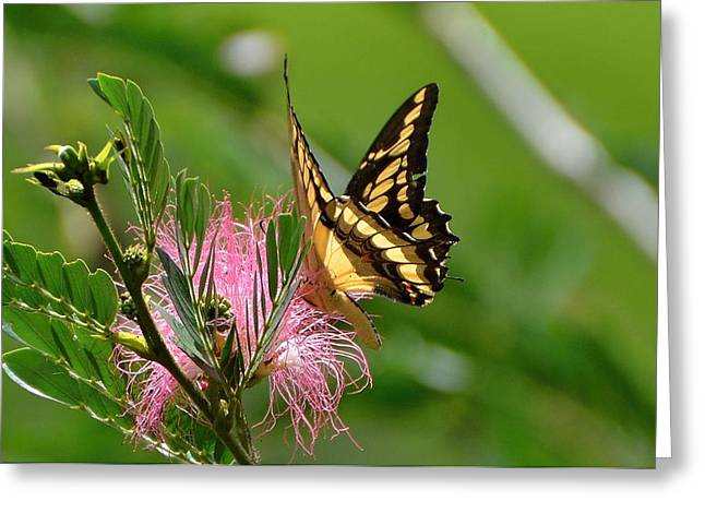 Papilio Thoas Greeting Cards - Butterfly Papilio thoas nealces2 Greeting Card by Michael Lilley