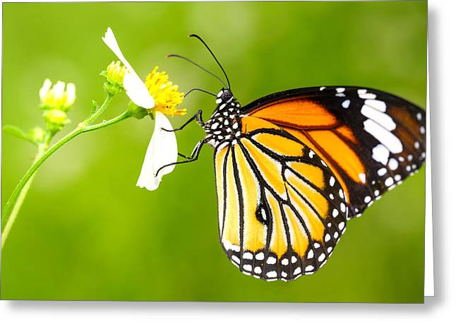 Common Tiger Butterfly Greeting Cards - Butterfly Greeting Card by Patrick Foto