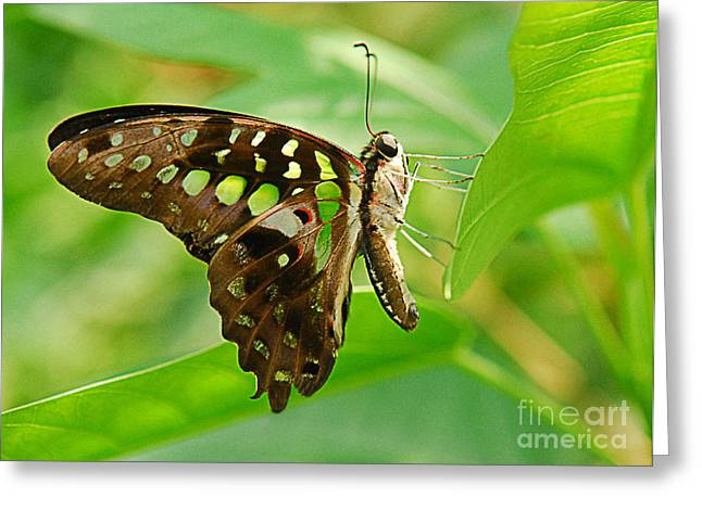 Butterflies Pyrography Greeting Cards - Butterfly Resting Greeting Card by Maria Martinez