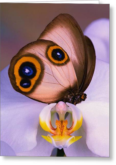 Butterfly Silky Owl  Taenaris Catops Greeting Card by Leslie Crotty