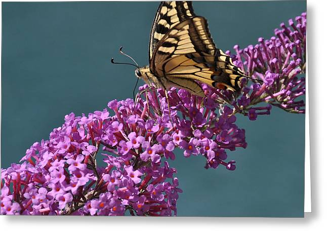 Butterfly Greeting Card by Simona Ghidini