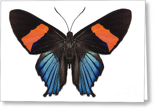 Miranda Greeting Cards - Butterfly species Ancyluris miranda Greeting Card by Pablo Romero