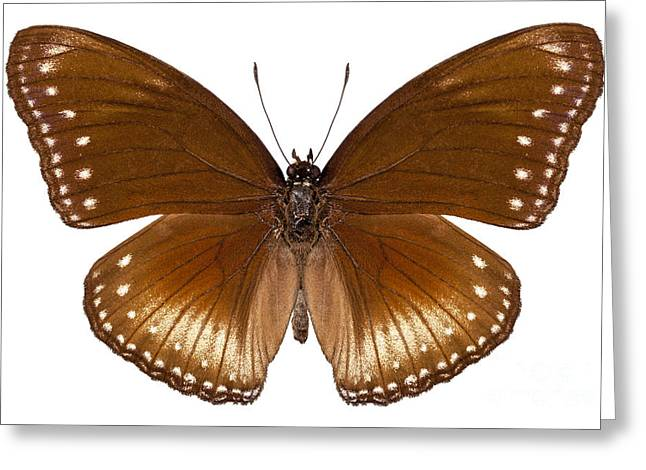 Nymphalidae Greeting Cards - butterfly species Hypolimnas anomala wallaceana Greeting Card by Pablo Romero