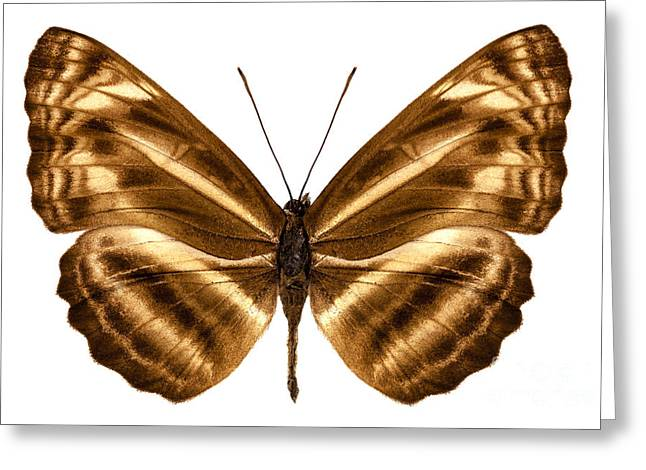 Sailer Greeting Cards - Butterfly species Neptis omeroda omeroda  Greeting Card by Pablo Romero