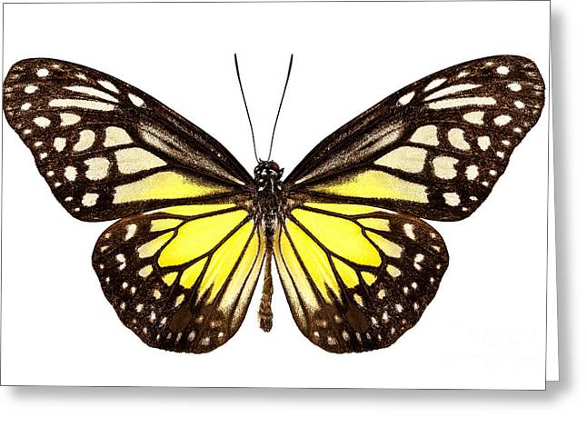 Butterfly Species Parantica Aspasia Common Name Yellow Glassy Ti Greeting Card by Pablo Romero