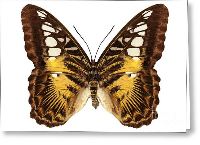 Nymphalidae Greeting Cards - Butterfly species Parthenos sylvia  Greeting Card by Pablo Romero