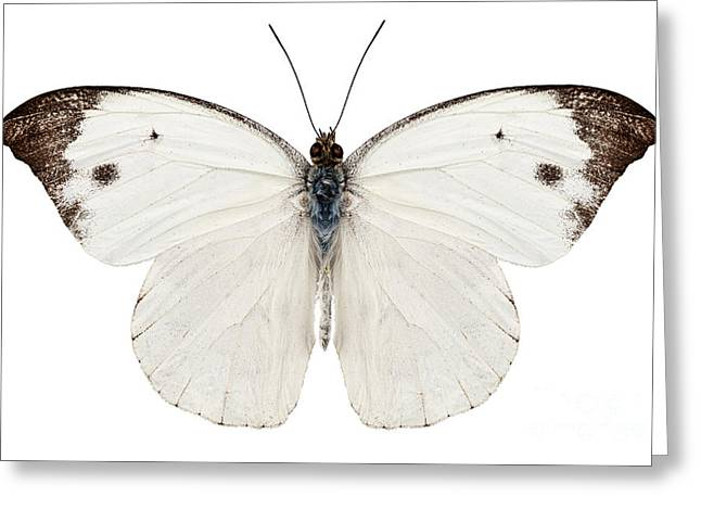 Pieris Rapae Greeting Cards - Butterfly species Pieris rapae Greeting Card by Pablo Romero