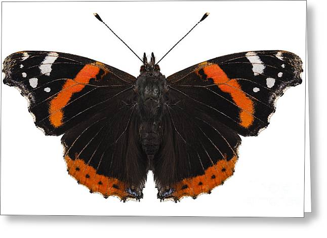 Nymphalidae Greeting Cards - Butterfly species Vanessa atalanta Greeting Card by Pablo Romero