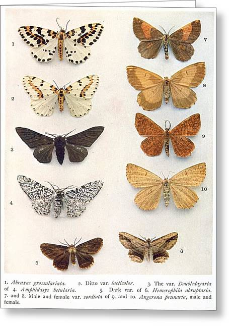 Captions Greeting Cards - Butterfly specimens, artwork Greeting Card by Science Photo Library