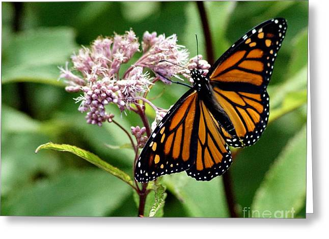 Butterlfy Greeting Cards - Butterfly Greeting Card by Steven Woodard