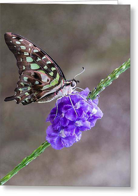 Invertebrates Greeting Cards - Butterfly - Tailed Jay I Greeting Card by Patti Deters