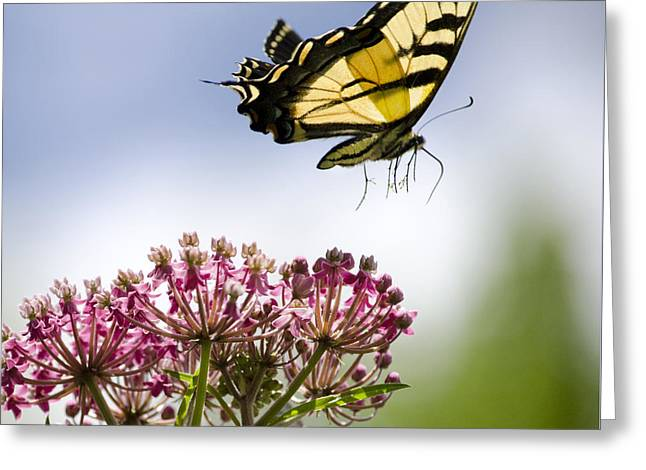 Butterfly In Flight Greeting Cards - Butterfly Takes Flight Greeting Card by Christina Rollo