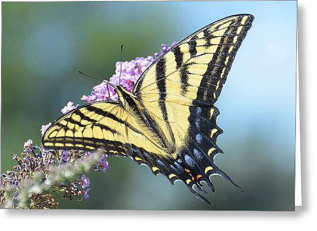 Conversations Pyrography Greeting Cards - Butterfly with Tails Greeting Card by Stephan Pabst