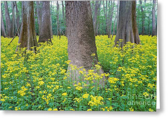 Butterweed Blooming In Congaree Greeting Card by Jeff Lepore