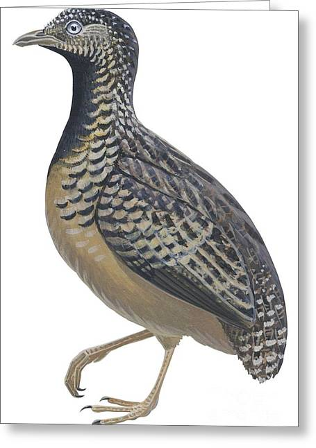 Vertical Drawings Greeting Cards - Button quail Greeting Card by Anonymous