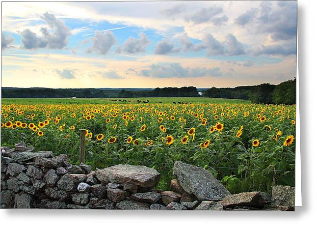 Griswold Connecticut Greeting Cards - Buttonwood Farm Sunflowers Greeting Card by Andrea Galiffi
