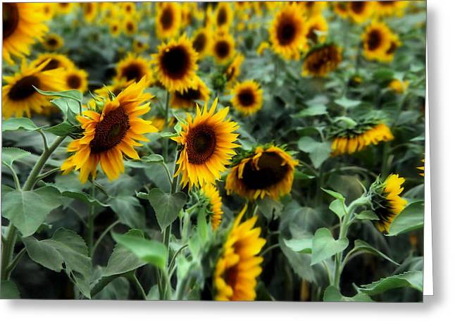 Griswold Connecticut Greeting Cards - Buttonwood Sunflowers Greeting Card by Andrea Galiffi