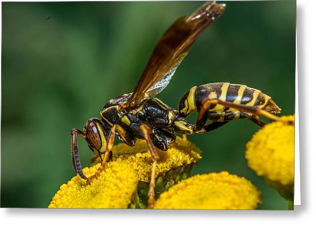 Yellow Jacket Greeting Cards - Buzz Greeting Card by Paul Freidlund