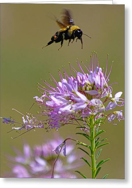 Pollenation Greeting Cards - Buzzing Around Greeting Card by Dana Bechler