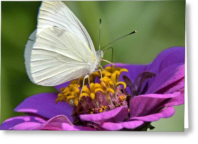 Pieris Rapae Greeting Cards - Cabbage Butterfly on Zinnia Greeting Card by A Gurmankin