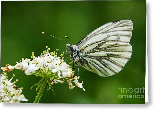 Pieris Rapae Greeting Cards - Cabbage Butterfly Greeting Card by Susie Peek