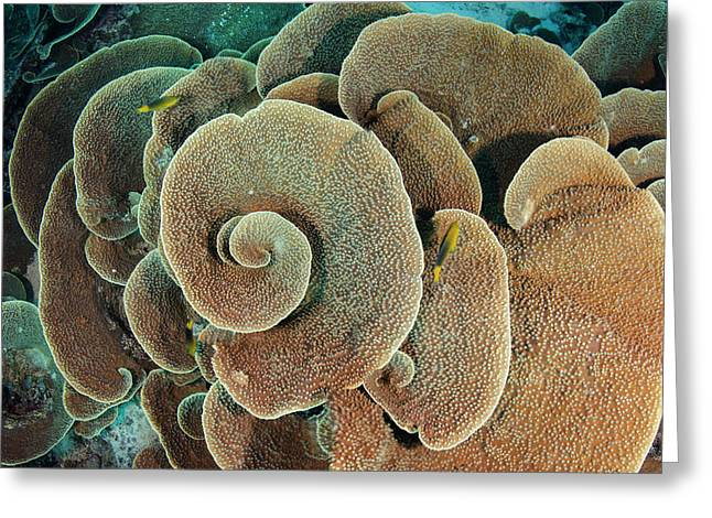 Cabbage Sheet Coral (agaricia Greeting Card by Pete Oxford