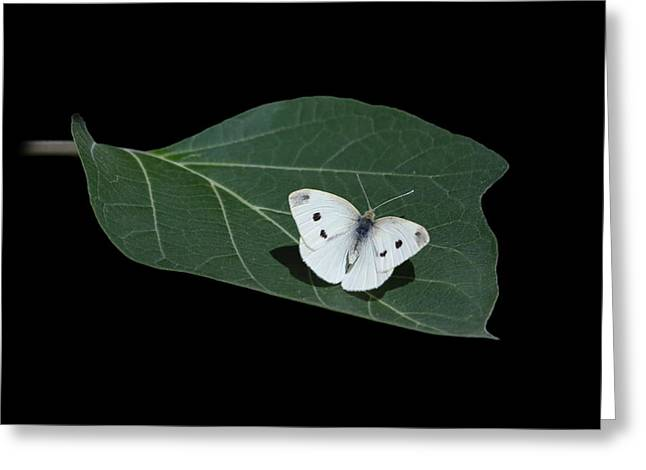 Cabbage White Butterfly Greeting Card by Angie Vogel