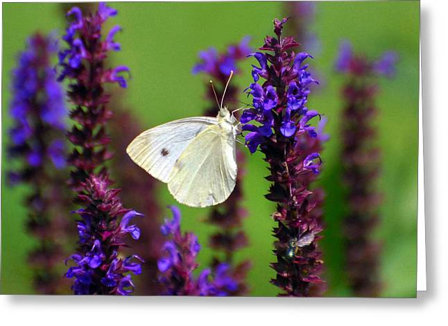 Butterfly On Flower Greeting Cards - Cabbage White Butterfly Greeting Card by Christina Rollo