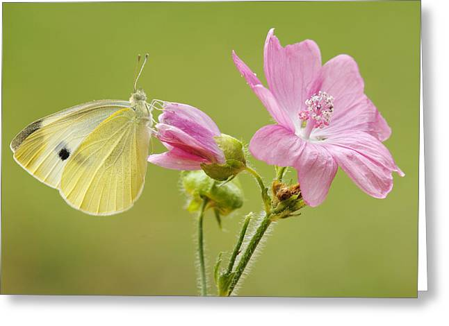 Cabbage White Butterfly On Flower Greeting Card by Silvia Reiche