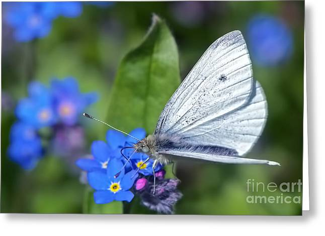 Pieris Rapae Greeting Cards - Cabbage White Butterfly on Forget-Me-Not Greeting Card by Sharon  Talson