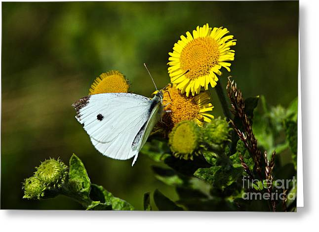 Pieris Rapae Greeting Cards - Cabbage White Butterfly Greeting Card by Susie Peek